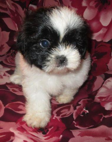 Shih Tzu Puppies (Purebred and Registered)