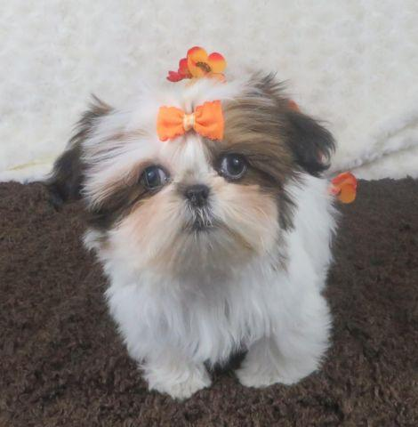 shih tzu purebred shih tzu puppies purebred cindy for sale in comstock 6782