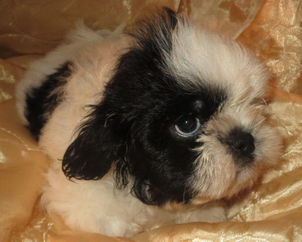 Shih Tzu Puppies (Purebred & Registered)