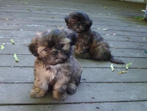 Shih Tzu Puppies Rare Sable Color Precious For Sale In East