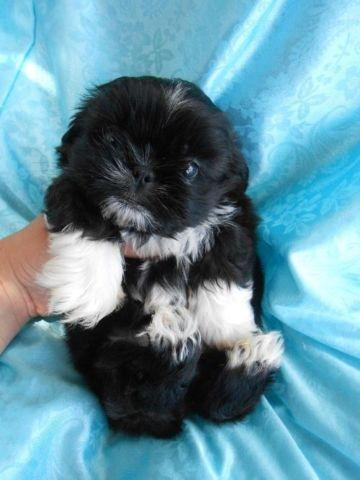 Shih Tzu Puppies Small Gorgeous Health Guaranteed For Sale In