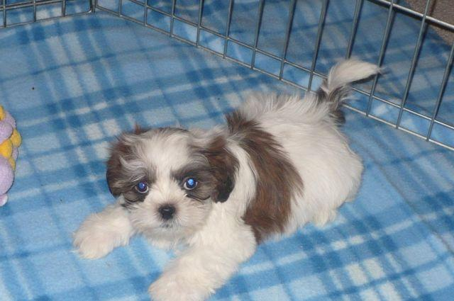 Toy Size Dogs : Shih tzu puppies toy size for sale in tucson arizona
