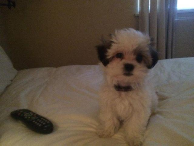 Shih Tzu Puppy For Sale In Woodland California Classified