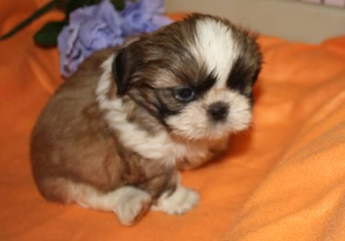 Shih Tzu Puppy Brown And White Male For Sale In Gaylord Michigan
