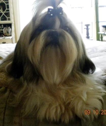 Shih Tzu Puppy For Sale Adoption Rescue For Sale In Clarkson