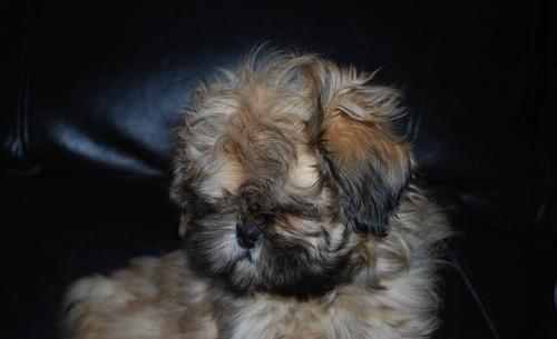 Shih Tzu Puppy for Sale - Adoption, Rescue for Sale in ...