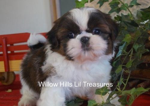 Shih Tzu Puppy For Sale Adoption Rescue For Sale In Rice Lake