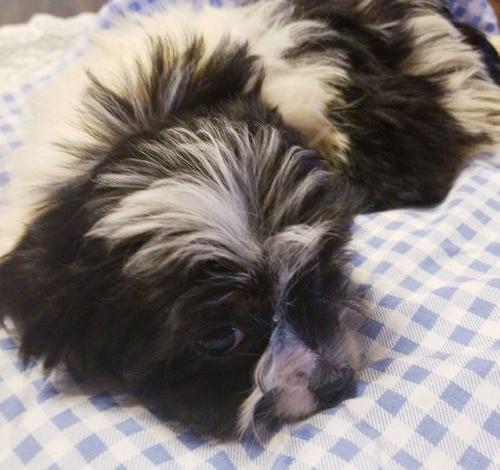 Shih Tzu Puppy For Sale Adoption Rescue For Sale In Columbia