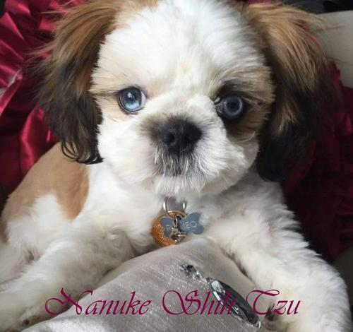 shih tzu puppies for sale in ma shih tzu puppy for sale adoption rescue for sale in 1033