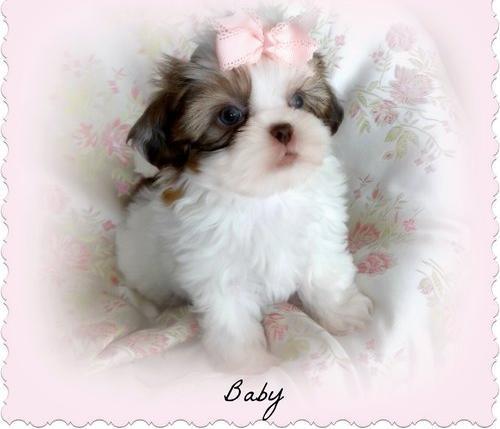 Shih Tzu Puppy For Sale Adoption Rescue For Sale In Ocala