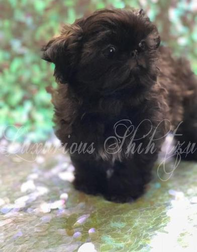 Brown White Multi Shih Tzu Pets And Animals For Sale In Los Angeles