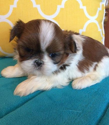 Shih Tzu Puppy For Sale Adoption Rescue For Sale In Baileyville