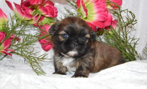 Shih Tzu Puppy For Sale Adoption Rescue For Sale In Cynthiana