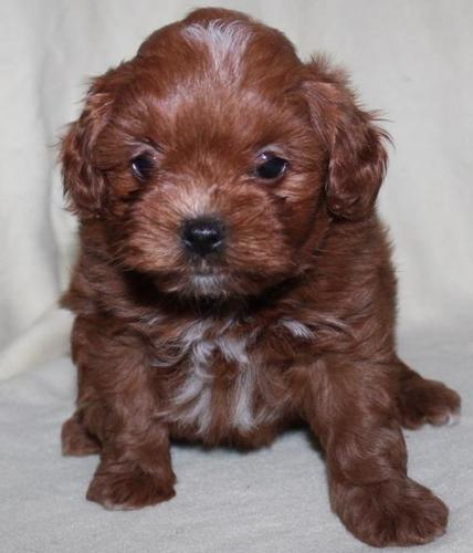 Yorkie Poo Pets And Animals For Sale In Joplin Missouri Puppy And