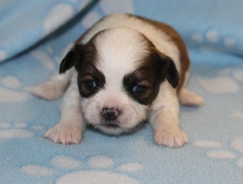 Shih Tzu Puppy For Sale Adoption Rescue For Sale In Joplin