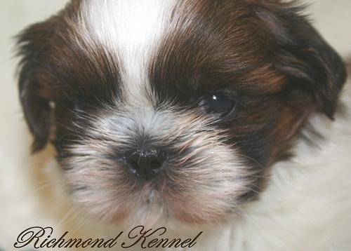 Shih Tzu Puppy For Sale Adoption Rescue For Sale In London Ohio
