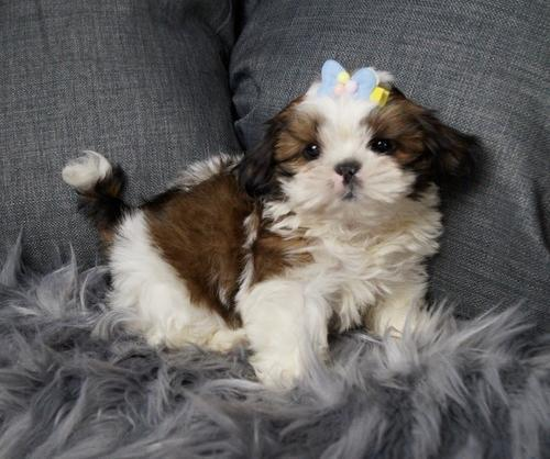 Shih Tzu Puppy for Sale - Adoption, Rescue for Sale in Warsaw