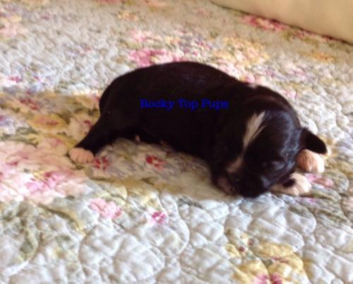 Shih Tzu Puppy For Sale Adoption Rescue For Sale In Pontotoc