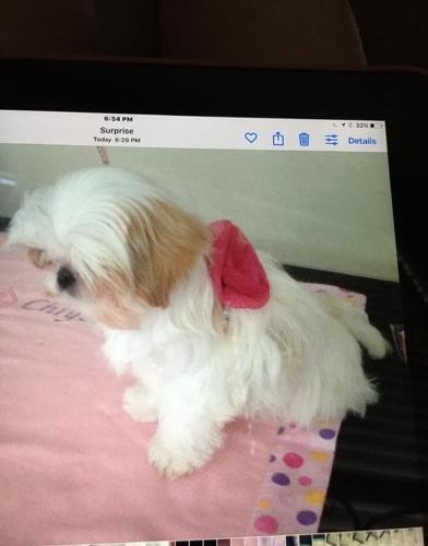 Shih Tzu Puppy for Sale - Adoption, Rescue