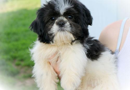 Shih Tzu Puppy For Sale Adoption Rescue For Sale In Thurmont