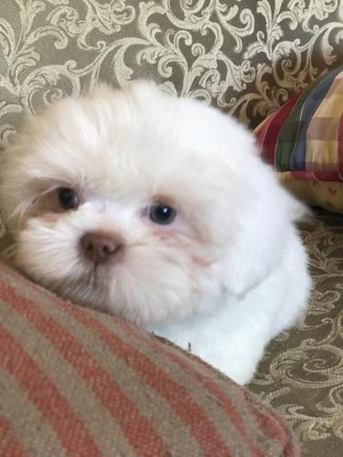 Shih Tzu Puppy Male All White Liver Nose Super Sweet Free Padded