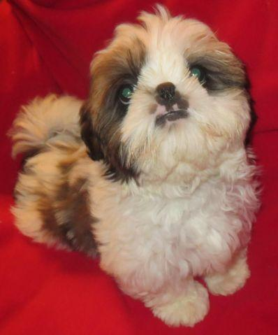 shih tzu purebred shih tzu puppy male purebred registered for sale in 6267