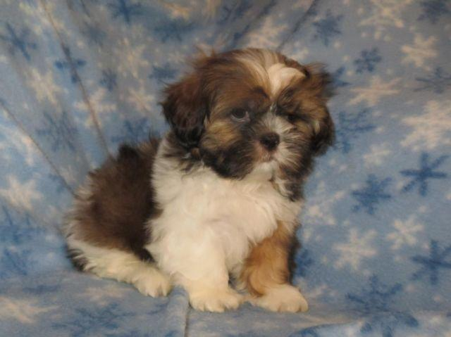 shih tzu purebred shih tzu puppy purebred male for sale in kingsburg 2767
