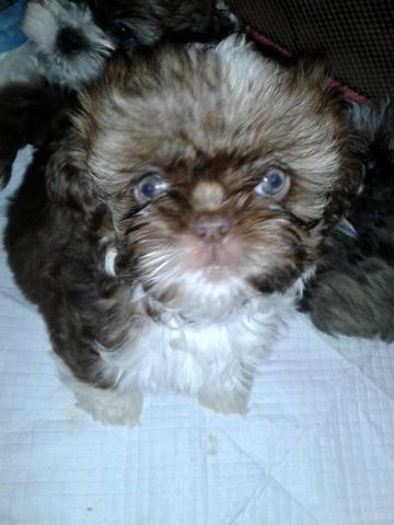 shih tzu puppies for sale in sacramento shih tzu puppy rare liver female 8 weeks old for sale 797