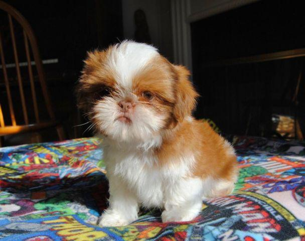 Shih Tzu For Sale In Kentucky Classifieds Buy And Sell In Kentucky