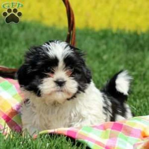 Shih Tzu Purebred Puppies For Sale For Sale In Philadelphia