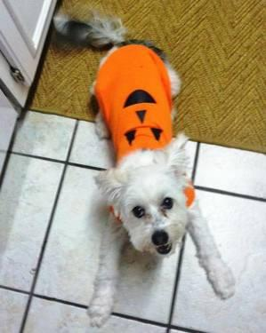 Shih Tzu - Razz - Small - Senior - Male - Dog