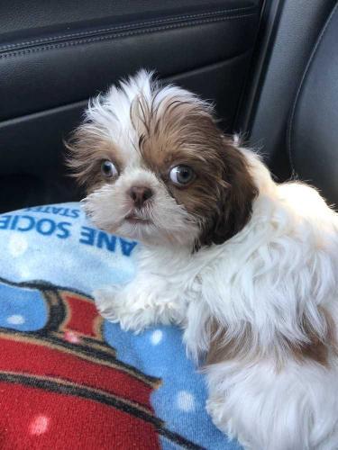 Shih Tzu Ricky Bobby Pending Adoption 48 Shih Tzu Baby Adoption