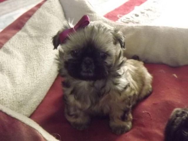 Shih Tzu Valentines Puppies For Sale In Mesa Arizona