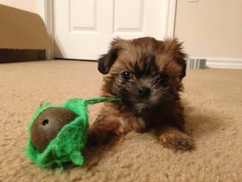 Shih tzu/yorkie Maltese mix puppies for Sale in Round Rock, Texas ...