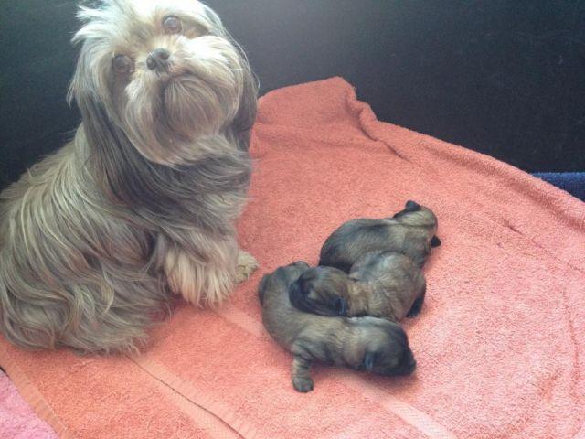 Shihchon Puppies Shih Tzu Bichon Mix For Sale In Kingsley