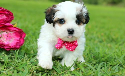 Shihpoo Puppy for Sale - Adoption, Rescue