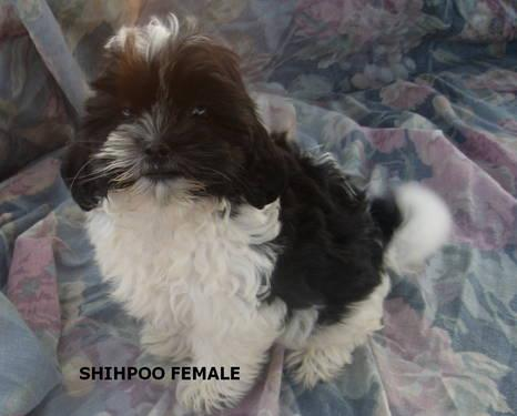 Lost Gold In North Carolina http://goldhill-nc.americanlisted.com/28071/pets-leasure-time-hobbies/shihpoo-puppies_22690179.html