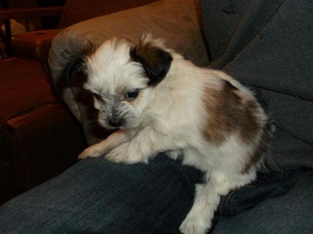 Shihtzu And Pomeranian Mix Puppies For Sale In Trego Wisconsin