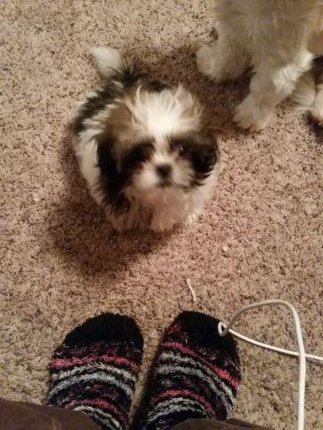 Shihtzu male born Nov 13, 2014