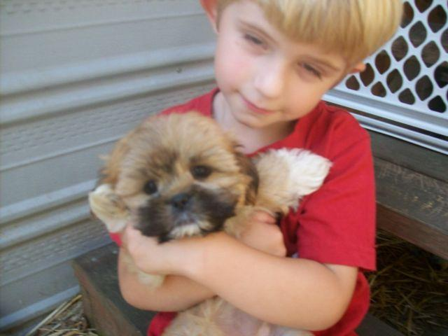 Shihtzu Pets And Animals For Sale In Washington Puppy And Kitten