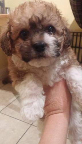 Shihtzu Poodle Cross Puppies For Sale In Hallie Wisconsin