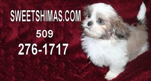 Shima Puppies Top Selling Dog In The Northwest For Sale