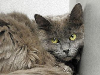 SHIMMER Domestic Mediumhair Young Female