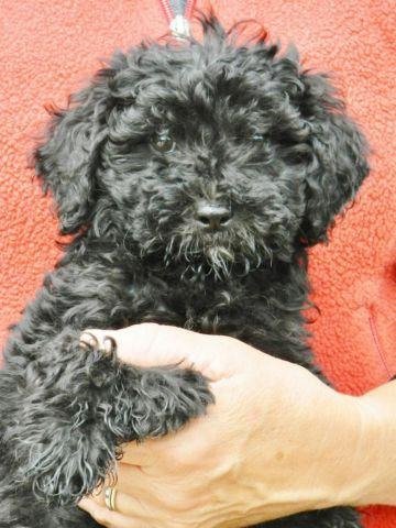 Shiny Black Mini-Goldendoodle Puppies, Female