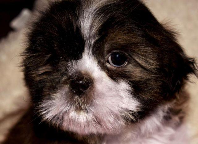Toy Poodle Puppies Pets And Animals For Sale In Nashville