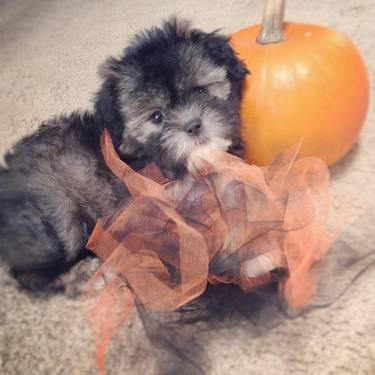 Shiranian puppies 1/2 Shih tzu 1/2 Pom 2Girls CUTE(Christmas pups!)