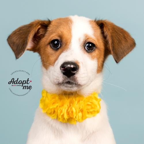 jack russell rescue ohio