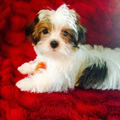 SHORKIE Adorable male pup 12 wks