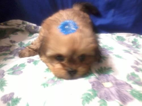shih tzu puppies for sale in philadelphia shorkie and shih tzu puppies for sale in philadelphia 442