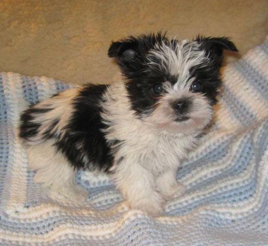 Shorkie Child Puppy 12 Shih Tzu 12 Yorkie For Sale In Howe